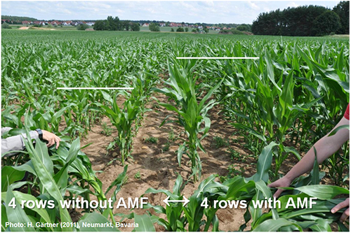 Figure 4. Corn grown with and without arbuscular myccorhizal fungi (AMF)