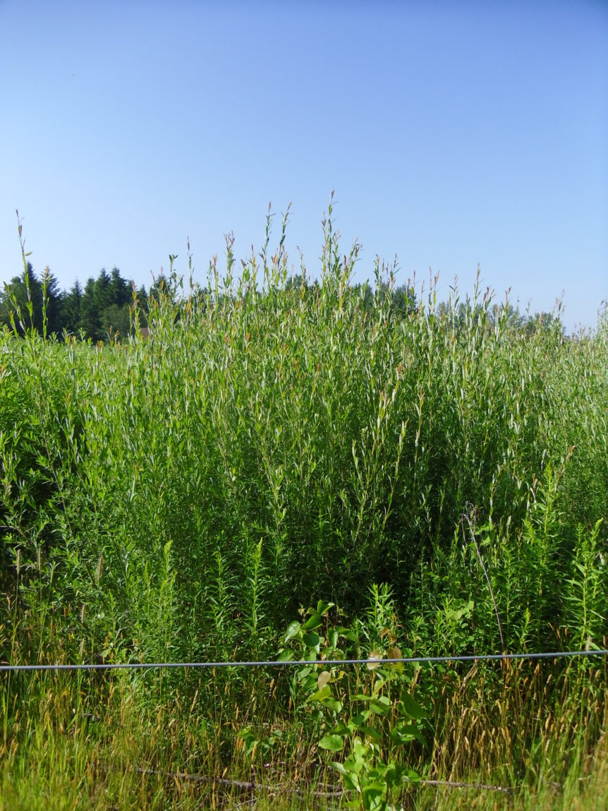 biomass willow